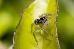 在叶子的微小的逗人喜爱的跳跃的蜘蛛 免版税库存图片