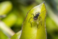 在叶子的微小的逗人喜爱的跳跃的蜘蛛 免版税库存照片