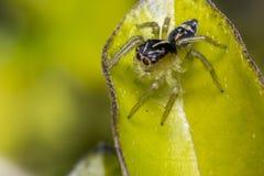 在叶子的微小的逗人喜爱的跳跃的蜘蛛 图库摄影