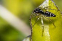 在叶子的微小的逗人喜爱的跳跃的蜘蛛 库存照片