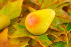 在叶子的成熟梨 免版税库存照片