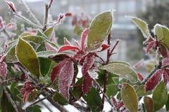 在叶子的新发光的霜在一个冬天早晨 库存图片