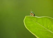 在叶子的昆虫 免版税库存照片
