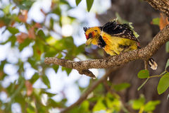 在叶子的有顶饰热带巨嘴鸟 免版税库存图片