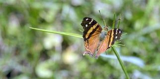 在叶子的橙色巴西蝴蝶 库存照片