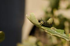 在叶子的毛虫 库存图片