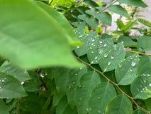 在叶子的水 免版税库存图片