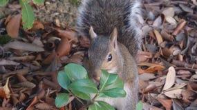 在叶子的灰鼠 免版税库存照片
