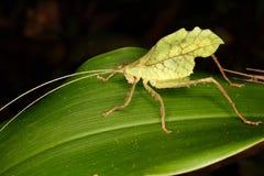 在叶子的热带蚂蚱 免版税库存照片