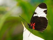 在叶子的热带蝴蝶 库存图片