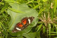 在叶子的热带被察觉的和镶边蝴蝶 免版税库存图片