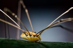 在叶子的爸爸长的腿蜘蛛 免版税库存图片