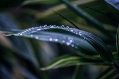 在叶子的特写镜头露水 免版税库存照片