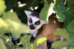 在叶子的狐猴 免版税库存照片