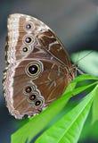 在叶子的猫头鹰蝴蝶 免版税库存图片