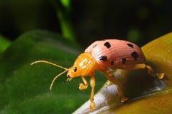在叶子的瓢虫本质上 免版税库存照片