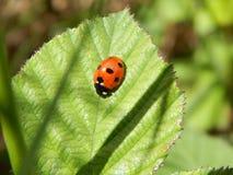 在叶子的瓢虫 免版税图库摄影