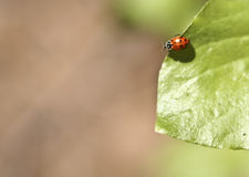 在叶子的瓢虫 库存照片