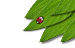 在叶子的瓢虫 库存图片