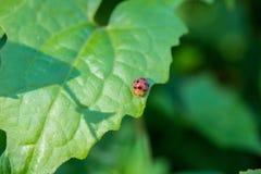 在叶子的甲虫在庭院里 库存图片