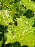 在叶子的甲虫 库存照片
