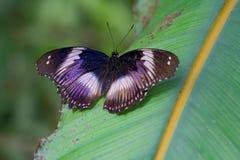 在叶子的电紫罗兰色和蓝色蝴蝶 库存照片