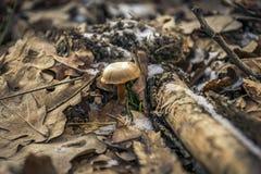 在叶子的真菌 免版税库存照片