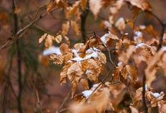在叶子的第一雪在森林里 免版税库存图片