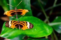在叶子的简单的老虎蝴蝶 免版税库存图片