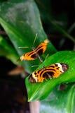 在叶子的简单的老虎蝴蝶 免版税库存照片