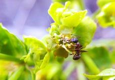 在叶子的红色大蚂蚁在一个晴朗的夏天早晨 库存照片