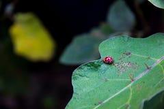在叶子的红色瓢虫 图库摄影