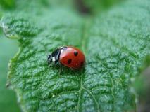 在叶子的红色瓢虫 免版税库存图片