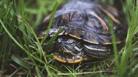 在叶子的绿海龟 看在被弄脏的自然背景的绿色植物和镶边草龟照相机 股票视频