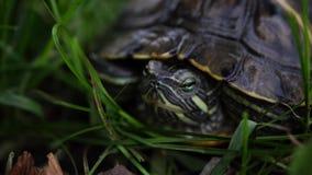 在叶子的绿海龟 看在被弄脏的自然背景的绿色植物和镶边草龟照相机 影视素材