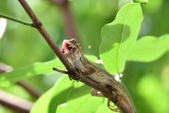 在叶子的绿色树变色蜥蜴 免版税库存照片