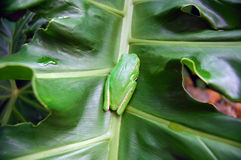 在叶子的绿色雨蛙 免版税库存图片