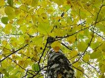 在叶子的美丽的桦树树干 库存图片