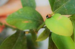 在叶子的美丽的瓢虫 免版税库存图片