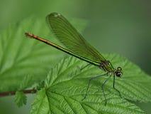 在叶子的美丽的绿色蜻蜓 免版税库存图片