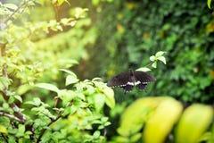在叶子的美丽的黑白蝴蝶 库存照片