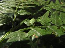 在叶子的臭虫 库存图片