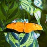 在叶子的茱莉亚longwing的蝴蝶新仙女木iulia 库存图片