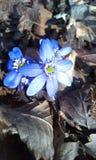 在叶子的蓝色花 库存图片