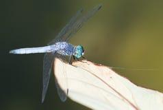 在叶子的蓝色蜻蜓 图库摄影