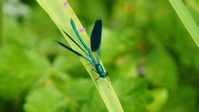 在叶子的蓝色蜻蜓 库存照片