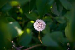在叶子的蓬松蒲公英 库存图片