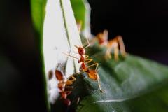 在叶子的蚂蚁步行 免版税库存图片
