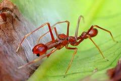 在叶子的蚂蚁仿造蜘蛛 免版税图库摄影