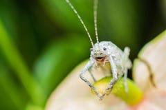 在叶子的蚂蚱 免版税库存图片